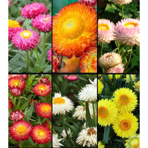PAPER DAISY COLLECTION 6 packets / STRAWFLOWER / EVERLASTING DAISY seeds