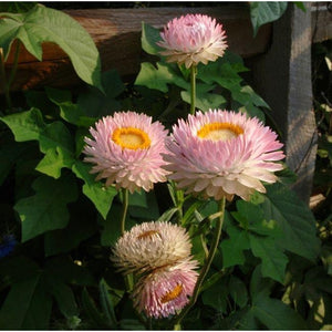 PAPER DAISY 'Silvery Rose' / STRAWFLOWER / EVERLASTING DAISY seeds