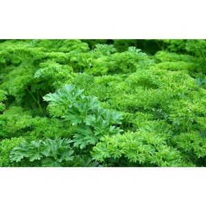 PARSLEY 'Curled' - Boondie Seeds