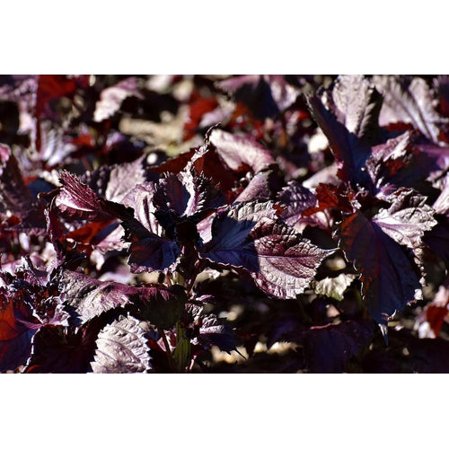 PERILLA 'Purple / Red' Shiso seeds