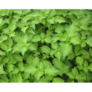 PERILLA 'Green' Japanese Shiso - Boondie Seeds