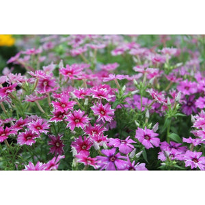 STAR PHLOX 'TWINKLE DWARF MIXTURE' - Boondie Seeds