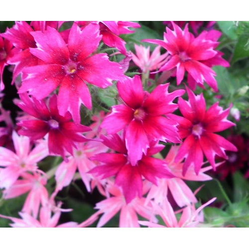 STAR PHLOX 'TWINKLE DWARF MIXTURE'