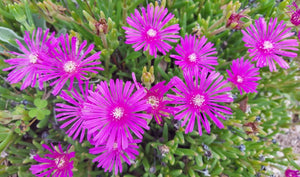 PINK PIGFACE CUTTINGS / Easy drought heat tolerant ground cover