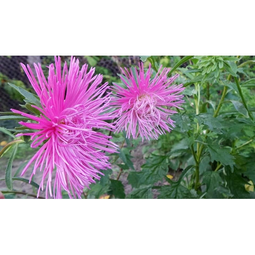 ASTER 'Giant Ray' - Boondie Seeds