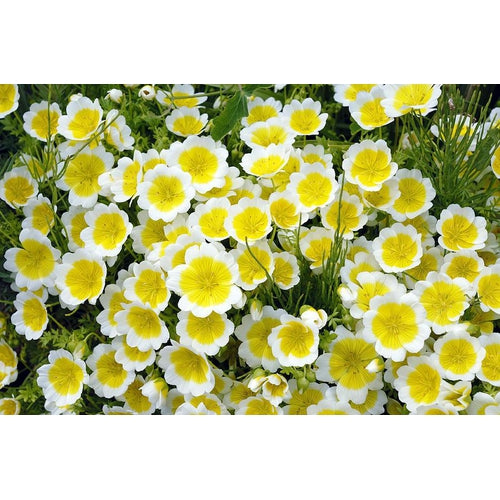 POACHED EGG PLANT / Limnanthes douglasii