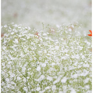 BABY'S BREATH gypsophila 'White' / Covent Garden