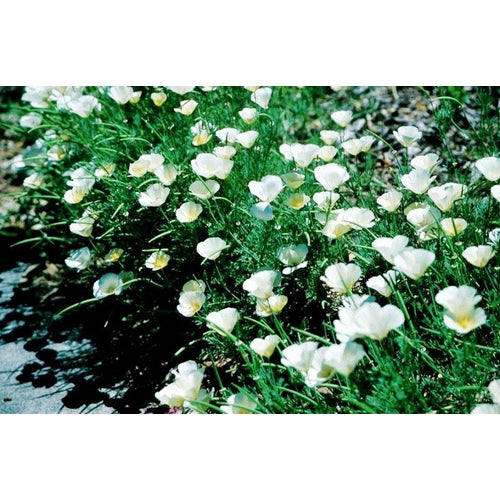 CALIFORNIAN POPPY 'Ivory Castle White' - Boondie Seeds