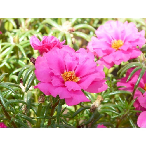 PORTULACA 'Double Flowered Mix'