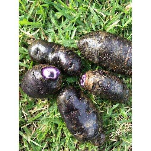 SEED POTATO - Purple Congo