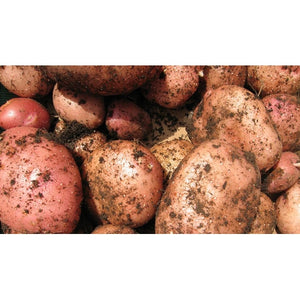 SEED POTATO - Desiree - Boondie Seeds