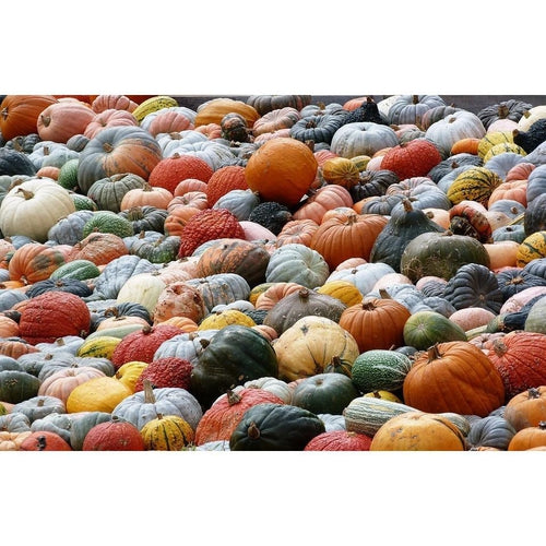 PUMPKIN 'Heirloom Mix' 15 seeds