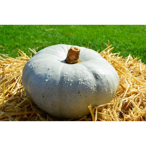 PUMPKIN 'Whangaparaoa Crown' - Boondie Seeds