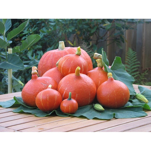 JAPANESE PUMPKIN Orange Hokkaido / Potimarron/ Red Kuri ORGANIC - Boondie Seeds