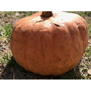 PUMPKIN 'Australian Butter' 10 seeds