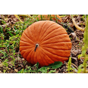 PUMPKIN 'Dills Atlantic Giant' or 'Worlds Largest' - Boondie Seeds