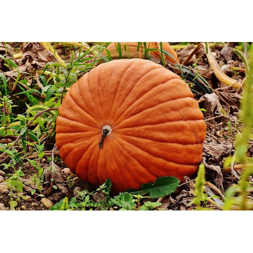PUMPKIN 'Dills Atlantic Giant' or 'Worlds Largest'