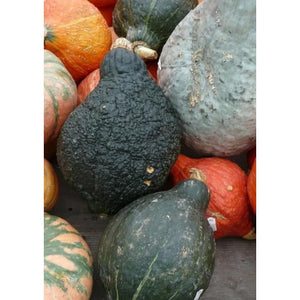 SQUASH 'Baby Green Hubbard' - Boondie Seeds