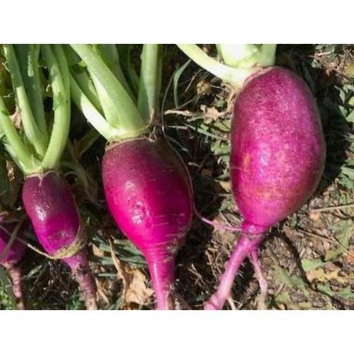 RADISH 'Purple Plum'