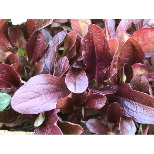 LETTUCE 'Red Cos' - Boondie Seeds