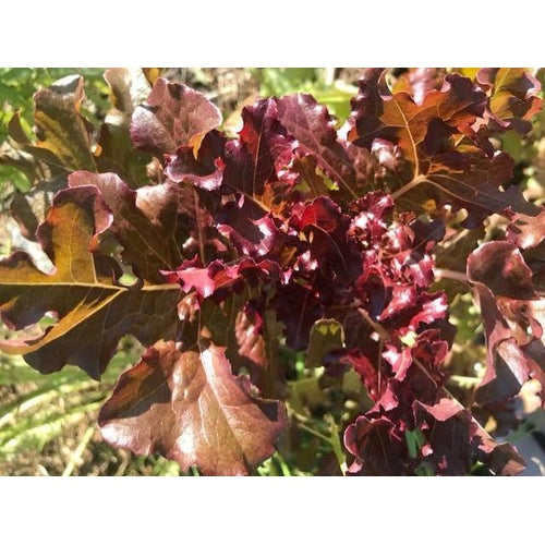 LETTUCE 'Red Oakleaf' - Boondie Seeds