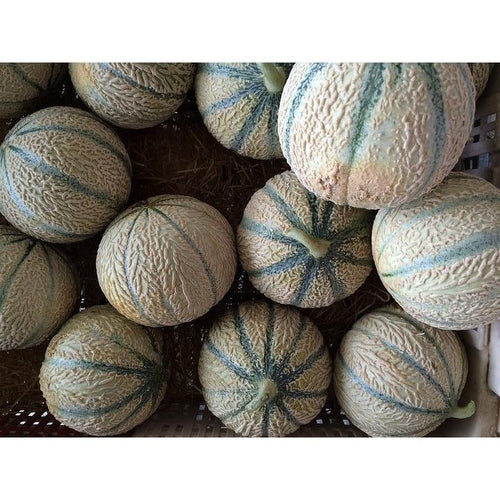 MINI ROCKMELON 'Eden Gem' - Boondie Seeds