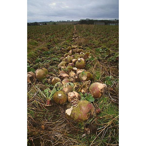 GIANT ANCIENT Root Cabbage / Turnip - Boondie Seeds
