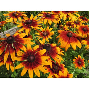 Rudbeckia 'GLORIOSA DAISIES MIXED' / Black Eyed Susan - Boondie Seeds