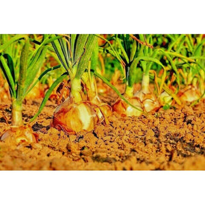 ONION 'Early Texas Grano' - Boondie Seeds
