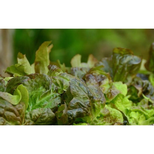 LETTUCE 'Marvel of Four Seasons' - Boondie Seeds