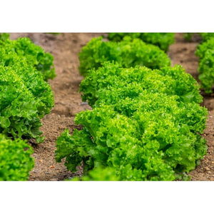 LETTUCE 'Grand Rapids' seeds