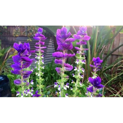 Salvia 'Tricolour Mix'