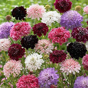 PINCUSHION FLOWER Tall Double Mix - Boondie Seeds