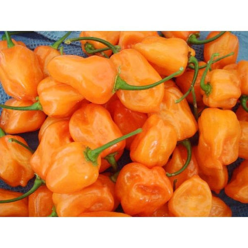 CHILLI 'Habanero Orange' - Boondie Seeds
