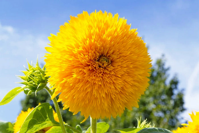 SUNFLOWER 'Teddy Bear' seeds