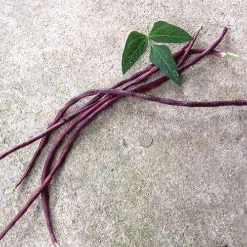 CLIMBING BEAN 'Red Noodle Snake' - Boondie Seeds