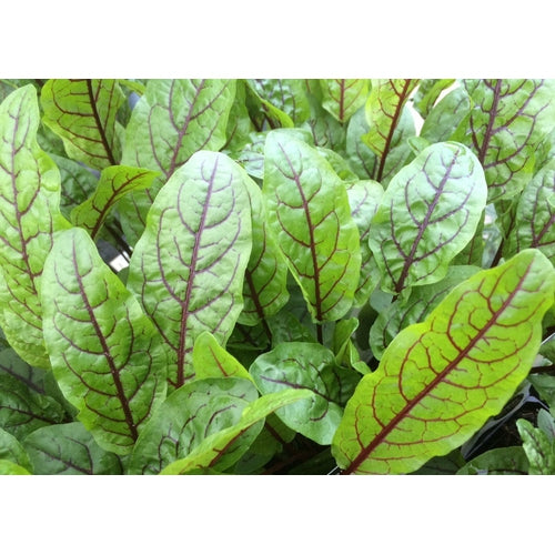 GARDEN SORREL 'Red Veined'