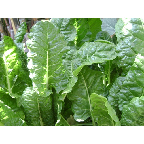 SILVERBEET 'Fordhook Giant'