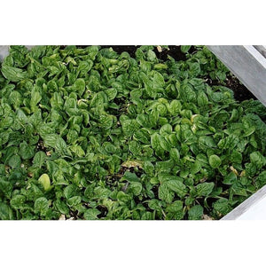 SPINACH 'American Curled' - Boondie Seeds