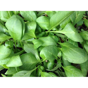 BABY SPINACH 'Black Magic' / English Spinach - Boondie Seeds