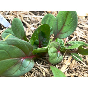 SPINACH Red Vein - Boondie Seeds