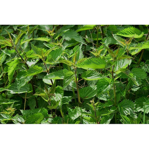 STINGING NETTLE - Boondie Seeds