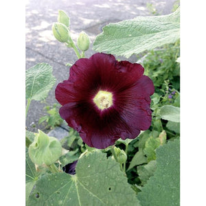 HOLLYHOCK 'Black' - Boondie Seeds