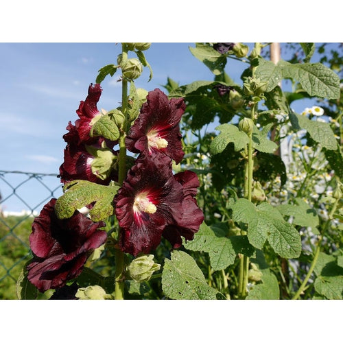HOLLYHOCK 'Black'