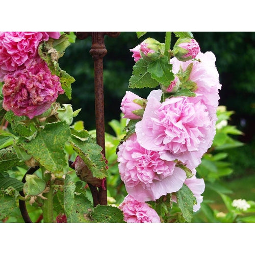 HOLLYHOCK 'Chaters Double Mix' seeds