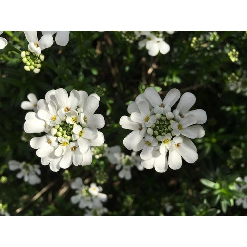 CANDYTUFT Empress White - Boondie Seeds