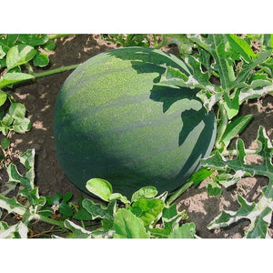 WATERMELON 'Sugar Baby' - Boondie Seeds