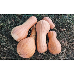 SQUASH / PUMPKIN 'Greek Sweet Red' - Boondie Seeds