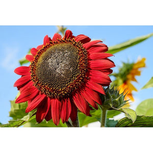 SUNFLOWER 'Prado Red'