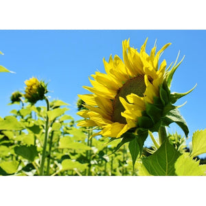 SUNFLOWER 'Mongolian Giant' - Boondie Seeds